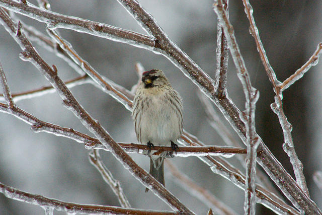 common_redpoll_20080308_01109