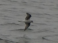 DSC02634_Fork_tailed_Storm_Petrel