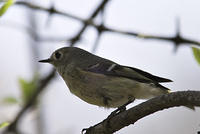 DSC06351_ruby_crowned_kinglet