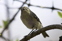 DSC06353_ruby_crowned_kinglet