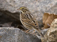 DSC03826_Savannah_Sparrow