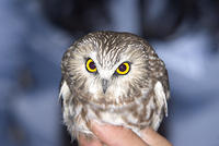 Northern_Saw_Whet_Owl_1_10_7_06
